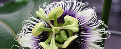 A passion flower
