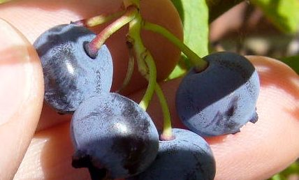 How to tell when blueberries are ripe