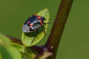 Black and red bug on leaf
